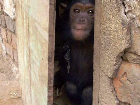 Chimpanzee-orphan-Stephen1